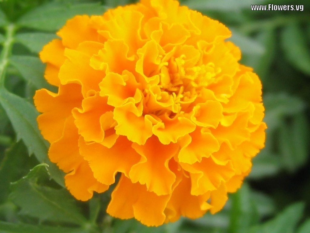 Marigold Flower Types