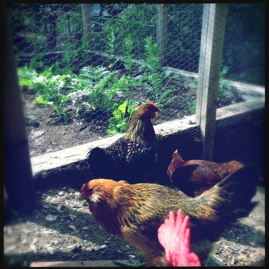 Chickens loitering outside the newly planted spring garden