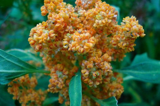"Quinoa, Andean ""superfood,"" on the plant"