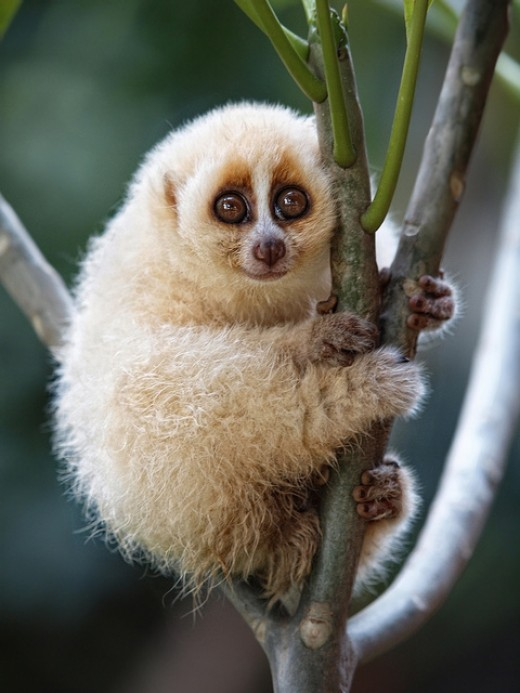 The Javan slow loris — he's cute, he's endangered... and he just can't get away