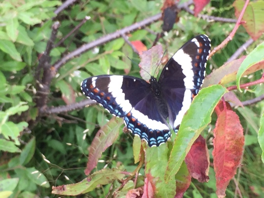 A butterfly on Coney Mountain